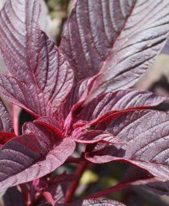 amaranthe semences biologiques semis bio - amaranth organic seeds