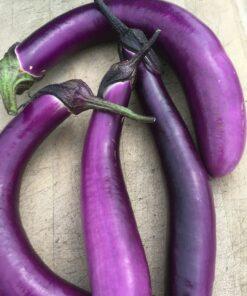 aubergine eggplant semences biologique bio semis organic seeds