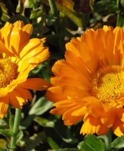 semences soucis calendule calendula biologique semis bio organic seeds