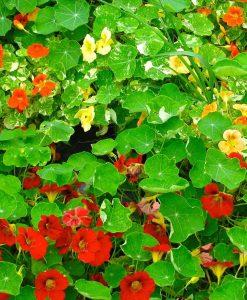 capucine semences bio semis biologique organic seeds