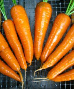 carotte carrot semences biologique semis bio organic seeds