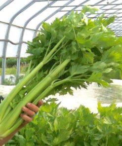 semences celeri céleri celery biologique bio organic seeds