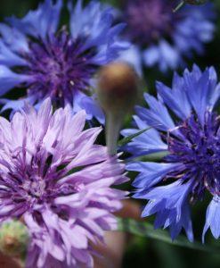 semences centaurée bleuet bio semis biologique organic seeds