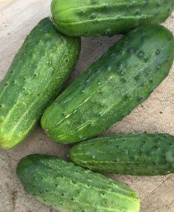 cornichon concombre cucumber pickling semences bio biologique semis organic seeds