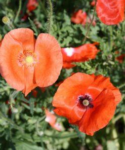 coquelicot semences biologique semis bio - poppy organic seeds