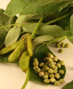 edamame fève soja soya bio semences biologiques