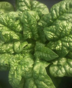 epinard bloomsdale bio semences semis biologiques organic seeds