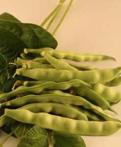 haricot vert grimpant semences bio semis biologiques pole bean organic seeds