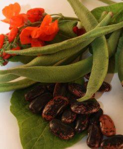 haricot runner d'espagne gimpant bio biologique semeneces semis bean organic seeds