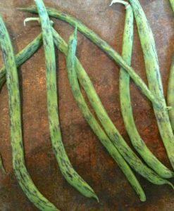 semences haricot grimpant bio semis biologique - pole bean organic seeds