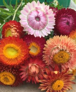 semences mélange immortelles bio semis biologiques - mix starflower organic seeds