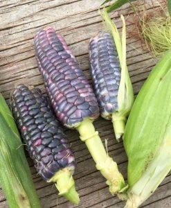 maïs sucré semences bio biologique sweet corn organic seeds