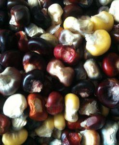 semences maïs farine bio semis biologique corn flour organic seeds