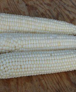semences maïs tuxana blanc sucré bio semis biologique white sweet corn organic seeds