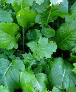semences bio mesclun crucifères semis biologique - organic seeds