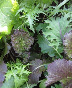 semences mesclun bio crucifères semis biologiques - salad mix organic seeds