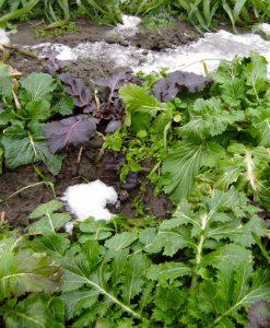 semences mesclun bio semis biologique - mesclun organic seeds