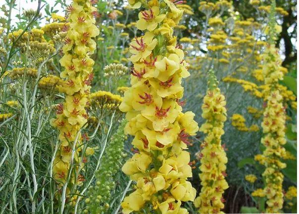 Plantes médicinales d'Automne. Booster son organisme avant l'hiver. Zoom sur l'échinacée, ortie, guimauve, molène, millepertuis