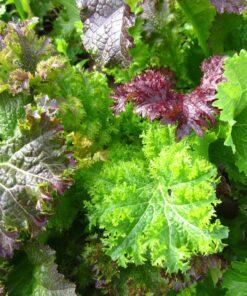 semences mélange moutarde forte semis bio biologiques - ighty mustard mix organic seeds