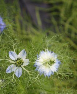 semences cumin nigelle bio semis biologiques - cumin organic seeds