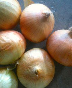 semences oignon espagnol bio semis biologique onion organic seeds