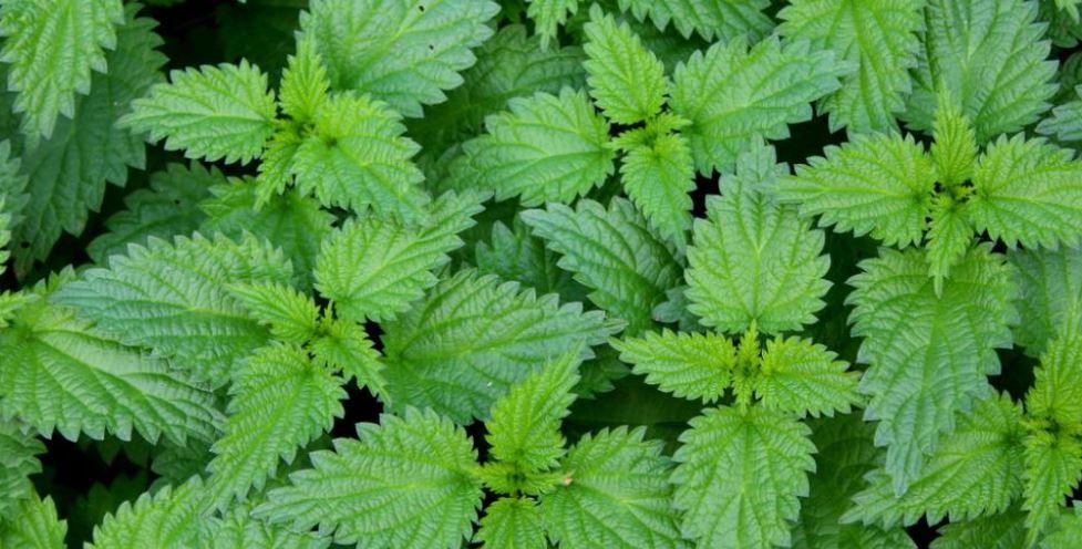 Plantes médicinales d'Automne - Booster son organisme avant l'hiver. Zoom sur l'échinacée, millepertuis, ortie, guimauve, molène.