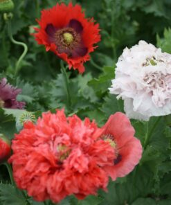 semences pavot mélangés semis bio biologique mix poppy organic seeds