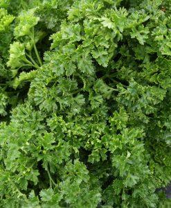 semences persil frisé bio semis biologique parsley organic seeds