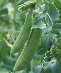 semences pois mange-tout bio semis biologique sugar snap pea organic seeds