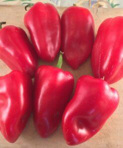 poivron rouge piment doux semences biologiques sweet pepper organic seeds bio