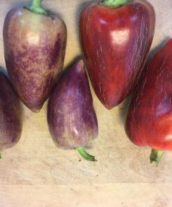 poivron piment doux semences biologique bio sweet pepper organic seeds