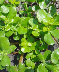 pourpier doré semences biologique bio