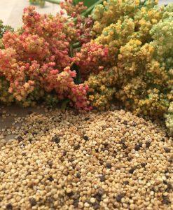 quinoa semences biologiques organic seeds bio