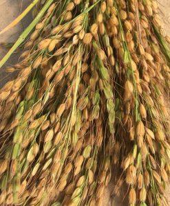 riz rice bio semences biologiques organic seeds