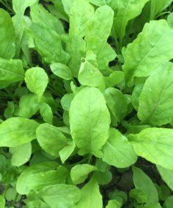 roquette semences biologique bio - qrugula organic seeds