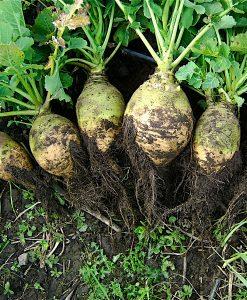 rutabaga semences seeds bio biologique organic