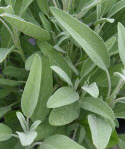 semences bio sauge organic sage seeds