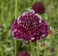 scabieuse scabiosa semences bio biologique organic seeds pollinisateurs