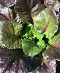 tatsoi semences biologiques organic seeds bio