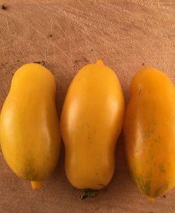 tomate sauce jaune semences biologiques - yellow tomato sauce organic seeds - bio