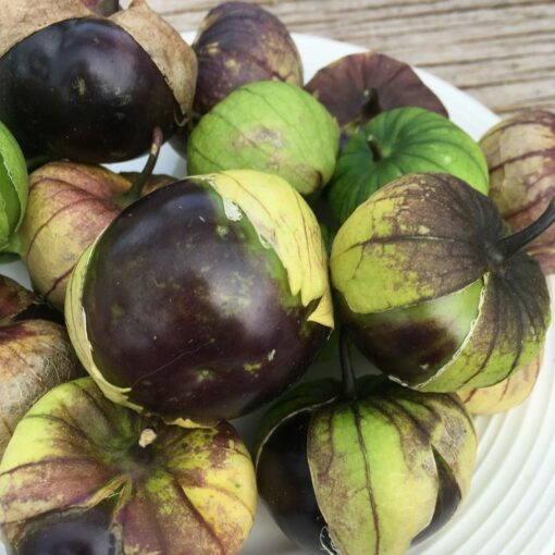 tomatillo mauve purple biologique bio semences