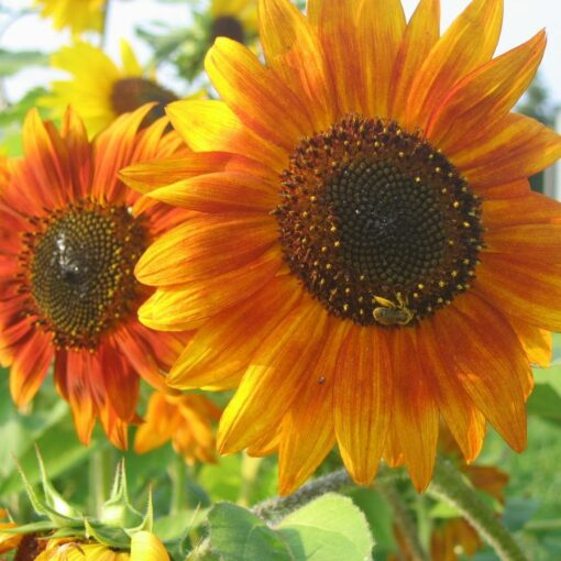 semences tournesol bio semis biologique sunflower organic seeds