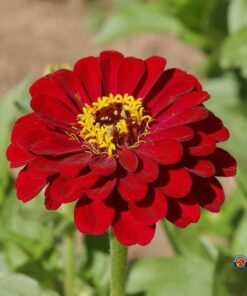 zinnia fleur semences biologiques bio